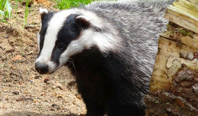 So I went to a restaurant serving badger... | The funniest tweets of the week